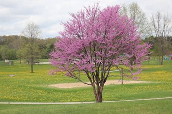 Tree in bloom